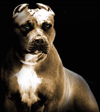 pitbull-prayer-dog